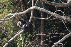 Animal fantástico e onde encontrá-los - undulatus de Rhyticeros/hornbill envolvido Foto de Stock Royalty Free