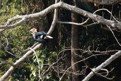 Animal fantástico e onde encontrá-los - undulatus de Rhyticeros/hornbill envolvido Fotografia de Stock Royalty Free