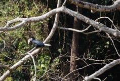Animal fantástico e onde encontrá-los - undulatus de Rhyticeros/hornbill envolvido Imagens de Stock Royalty Free