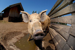 Animal farm Stock Photography