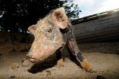 Animal farm Stock Images