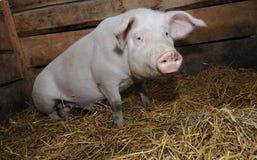 Animal farm Stock Photos