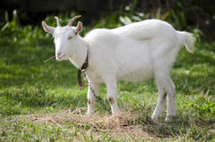 Animal Farm - Goat Royalty Free Stock Photography