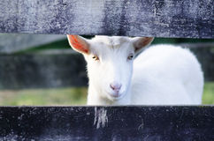 Animal Farm - Goat Royalty Free Stock Photos