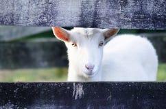 Animal Farm - Goat Royalty Free Stock Photos