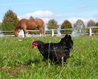 Animal farm - horse and black hen Stock Photo
