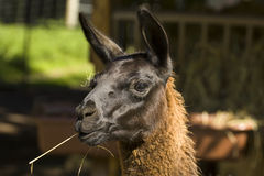 Animal Farmer. A lLlama eating a straw Stock Photo