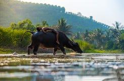 Animal feliz do menino - búfalo Ásia Fotografia de Stock Royalty Free