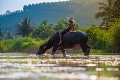 Animal feliz do menino - búfalo Ásia Fotos de Stock