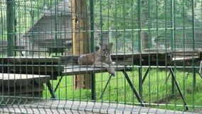 Animal femenino del león que miente en tableros en jaula del parque zoológico Enfoque hacia fuera almacen de video