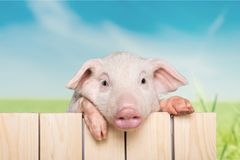 Cute piglet animal hanging on a fence. Animal fence pig piglet baby animal young animal smile face Royalty Free Stock Photo