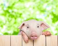 Cute piglet animal hanging on a fence. Animal fence pig piglet baby animal young animal smile face Royalty Free Stock Photography