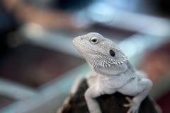 Animal - fermez-vous vers le haut de l'iguane blanc de lézard sur le bois de construction Photo stock