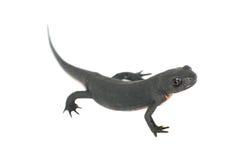 Animal fire salamander isolated Royalty Free Stock Image