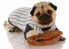 Animal fitness. Pug dog dressed up in baseball uniform with ball glove Stock Images