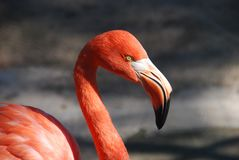 Animal, Flamingo, Bill, Red Royalty Free Stock Images