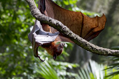 Animal flying Fox. Royalty Free Stock Photography