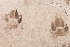 Animal footprint. S on soil ground Stock Images