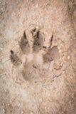 Animal footprint. S on soil ground Stock Photos