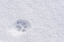 An animal footprint in the snow. A cat or dog or wolf or fox footprint in the snow Royalty Free Stock Image