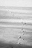 Animal footprints Royalty Free Stock Photo
