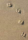 Animal footprints. On the sand dunes Stock Photos