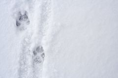 Animal Footprints On Snow Royalty Free Stock Image
