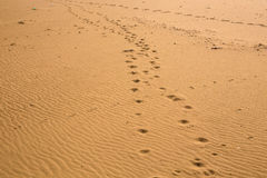 Animal footprints in the sand. Dog or cat or another animal footprints in the sand Royalty Free Stock Images