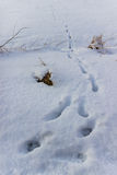 Animal footprints in snow. Footprints from an animals paws in snow Stock Photography