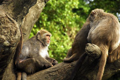 Animal - Formosan Macaque (Macaca cyclopis) Royalty Free Stock Photos