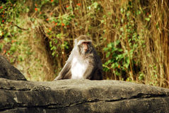 Animal - Formosan Macaque (Macaca cyclopis) Stock Image