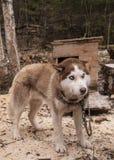 Animal fornido del siberiano del perro Fotografía de archivo libre de regalías
