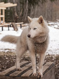 Animal fornido del siberiano del perro Fotos de archivo