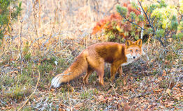 Animal the Fox in wood Royalty Free Stock Photos