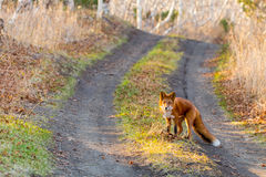 Animal the Fox in wood Stock Image