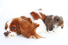Animal friends. True pet friends. Dog rabbit bunny lop animals together on isolated white studio background. Pets love. Each other. Cute Stock Photo