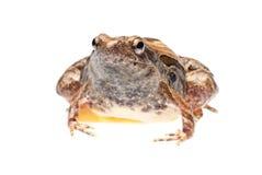 Animal frog Stock Photography