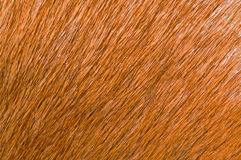 Animal fur. Musquash, brown animal fur background Royalty Free Stock Photos