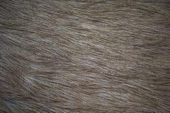 Animal fur texture. A close up of brown African antelope fur Stock Image