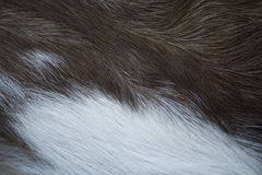 Animal fur texture. A close up of brown and white African antelope fur Stock Photos