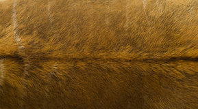 Animal fur texture Royalty Free Stock Photography