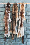 Animal furs hanging on a wall. Wild animal furs and skins hanging on a wall for airing and drying Stock Image
