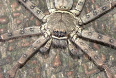 Animal giant spider Royalty Free Stock Image