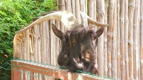 An animal is a goat with large horns. An animal of a goat with big horns thrust its head into the fence stock video
