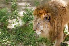 Animal grande do leão em uma caminhada no jardim zoológico Fotografia de Stock Royalty Free