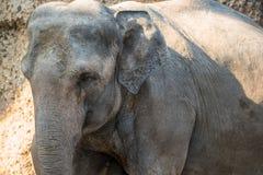 Animal grande, gris que se coloca delante de árboles Fotografía de archivo libre de regalías