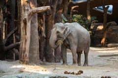 Animal grande, gris que se coloca delante de árboles con la paja en su tr Imágenes de archivo libres de regalías