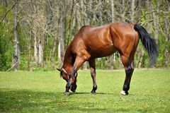 Animal on the grass. Beautiful horses grazing freely in nature. Royalty Free Stock Photography