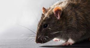Animal gray rat close-up Stock Photos