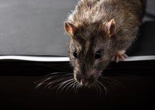 Animal gray rat close-up Stock Image